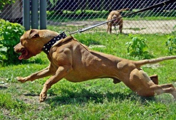 Запрещенные собаки в Европе и Америке - Американский Питбуль