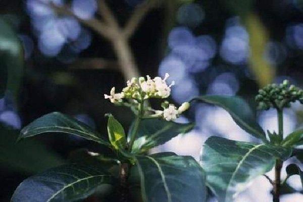Растения афродизиаки фото описание - Йохимбе
