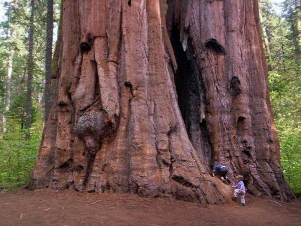 Необычные деревья и самые странные фото - Секвойя