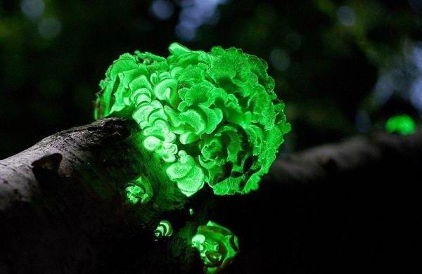Необычные грибы фото самых интересных - Панеллюс стиптикус