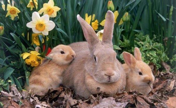 Уход за кроликами мясных пород