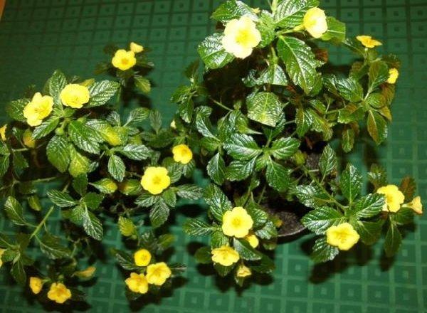 Растения афродизиаки фото описание - Дамиана