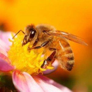 Массовая гибель животных - пчелы медоносы