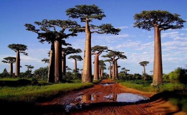 Необычные деревья и самые странные фото - Баобаб