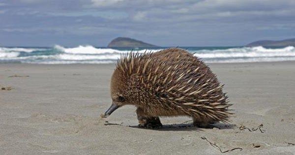 Самые длинные языки у животных - Австралийская ехидна