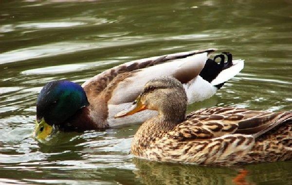 Спаривание животных - самые необычные - утки