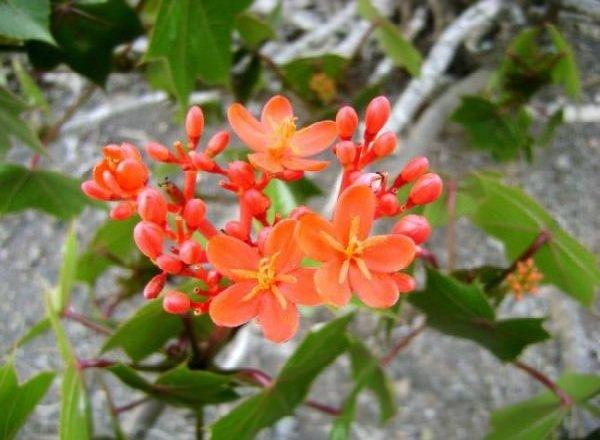 Растения афродизиаки фото описание - Хуанарпо Мачо