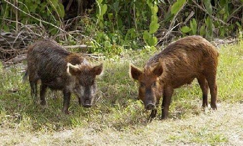 Запахи в жизни животных - дикие кабаны