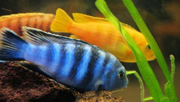 Спаривание животных - самые необычные - рыбы циклиды