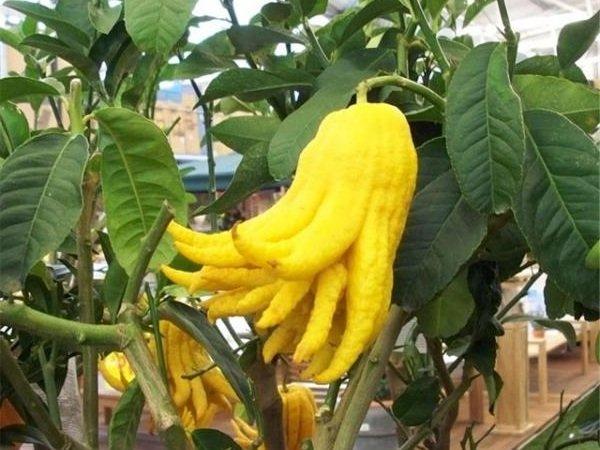 Экзотические фрукты фото и описание - Рука Будды