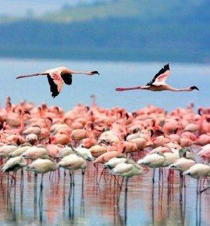 Массовая гибель животных - фламинго