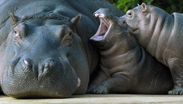 Спаривание животных - самые необычные - гиппопотам