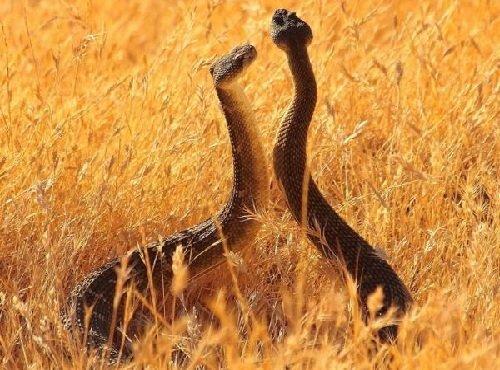 Запахи в жизни животных - змеи