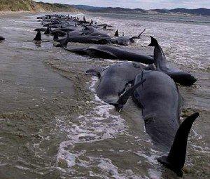 Массовая гибель животных - дельфины