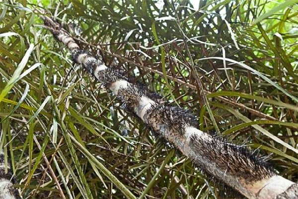 Необычные деревья и самые странные фото - Колючая пальма