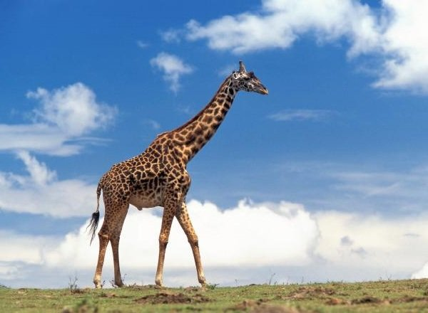 Самые длинные языки у животных - Жираф