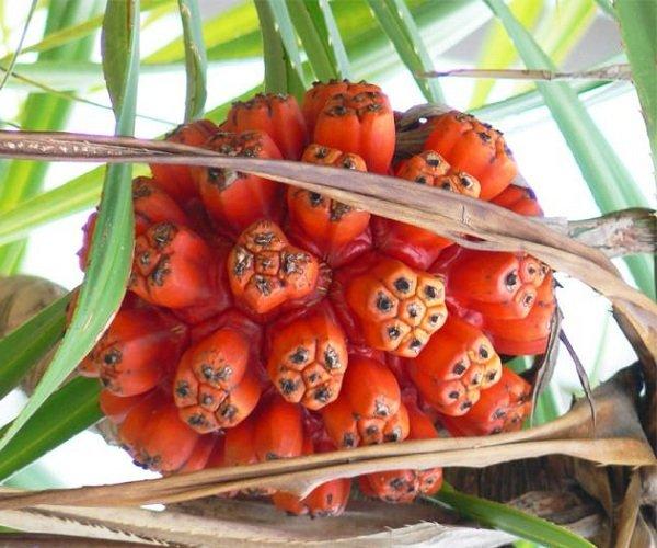 Экзотические фрукты фото и описание - Панданус