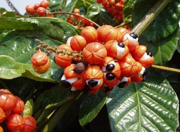 Растения афродизиаки фото описание - Гуарана