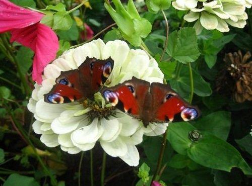 Запахи в жизни животных - бабочки