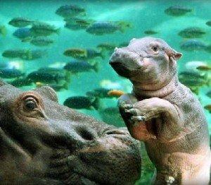 Массовая гибель животных - бегемоты