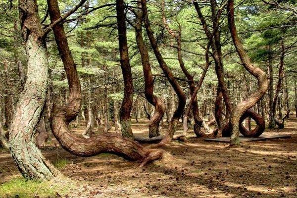 Необычные деревья и самые странные фото - Кривой лес