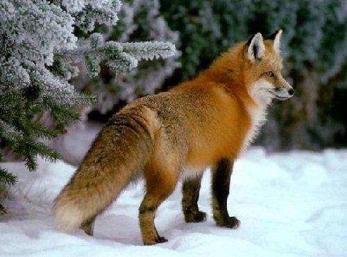 Запахи в жизни животных - лисы
