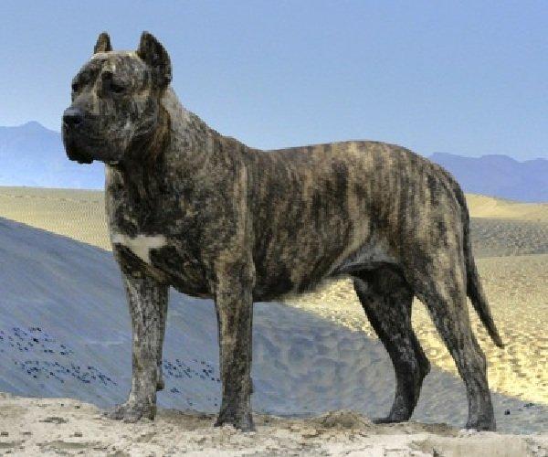 Запрещенные собаки в Европе и Америке - Presa Canario