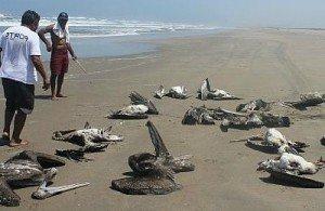 Массовая гибель животных - пеликаны
