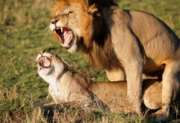 Спаривание животных - самые необычные - львы