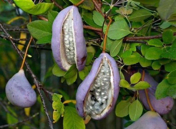 Экзотические фрукты фото и описание - Акебия Пятерная