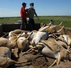 Массовая гибель животных - домашний скот