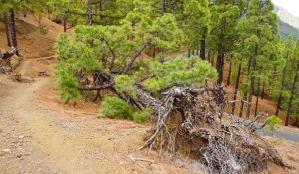 Необычные деревья и самые странные фото - Живучая сосна