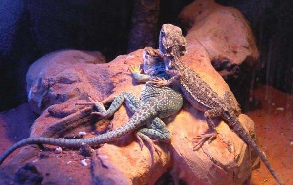 Спаривание животных - самые необычные - ящерицы