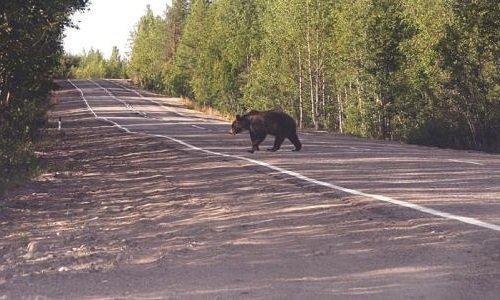 Запахи в жизни животных - медведи