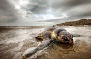 Массовая гибель животных - морские черепахи