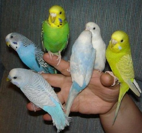 Как приучить попугайчика к рукам