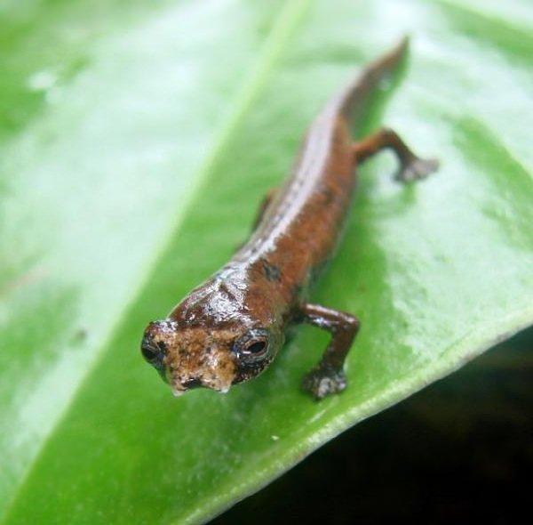 Адаптация животных в природе - Саламандра ЕТ