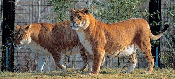 Животные гибриды фото и описание - лигр