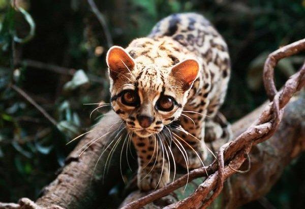 Животные обманщики во время охоты - длиннохвостая кошка