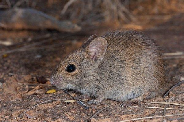 Животные - которых считали исчезнувшими - Мышь Pseudomys desertor