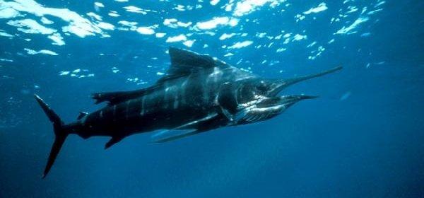 Самые быстрые рыбы в мире - Рыба Парусник