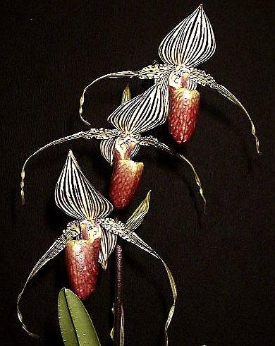 Самые дорогие цветы в мире - Орхидея Золото Канибалу
