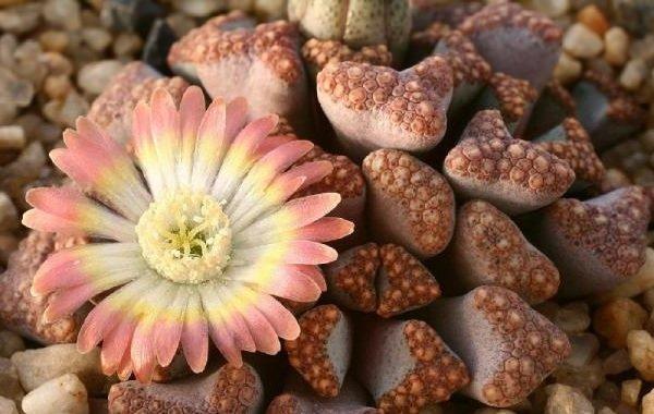 Самые неприхотливые комнатные растения - Живые камни