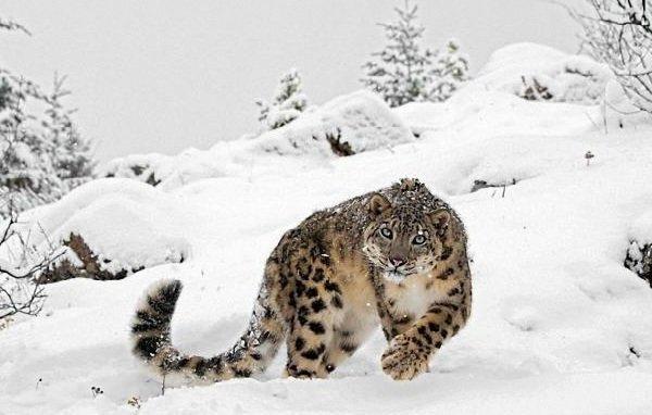 Животные белого цвета - Снежный барс