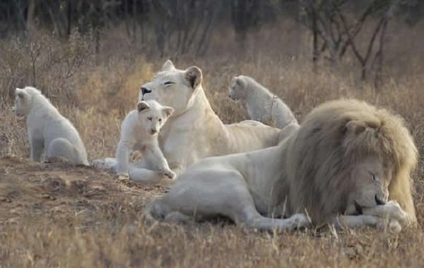 Львы — 25 интересных фактов про жизнь львов