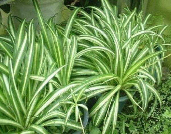 Комнатные растения целители и лечебные