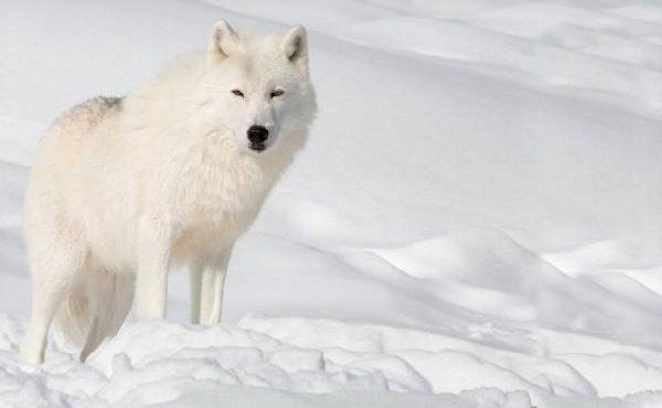 Животные белого цвета – белые волки