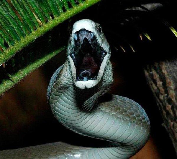 Самые свирепые животные планеты - Черная мамба