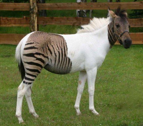 Животные гибриды фото и описание - зеброиды