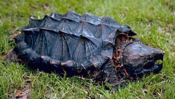 Животные обманщики во время охоты - грифовая черепаха